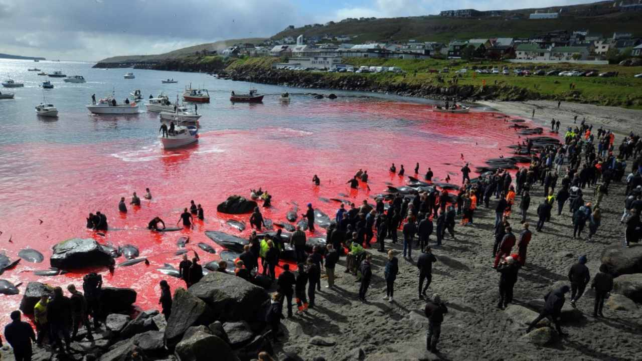 Faroe Islands government calls for reevaluation of traditional hunt after citizens slaughter 1400 dolphins
